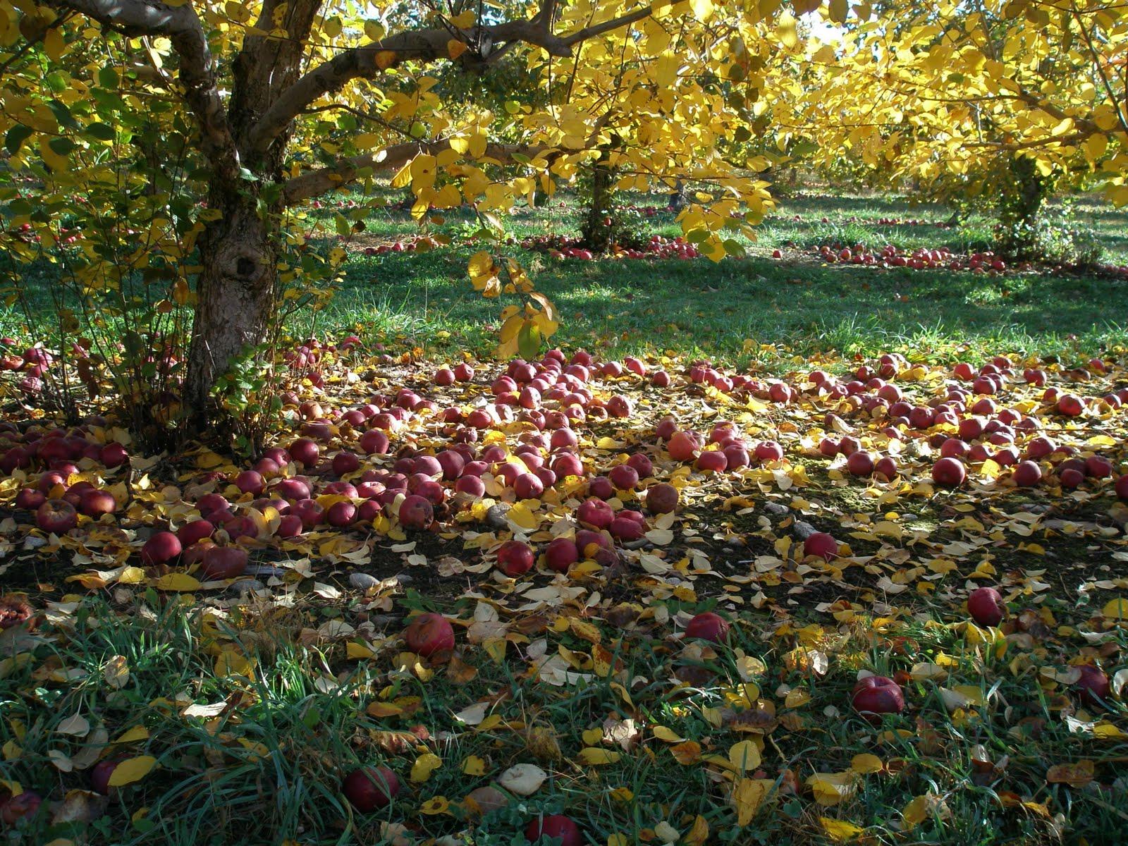 Apples ground